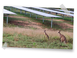 Kangaroos at Australian PV Plant built by GRS
