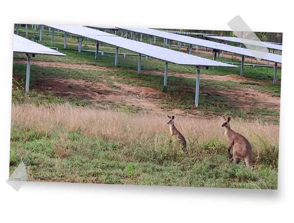 Kangaroos at Australian PV Plant built by GRS