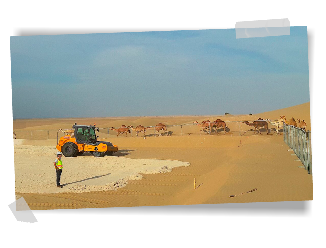 Camels in the Dubai desert during the construction of a GRS PV plant.
