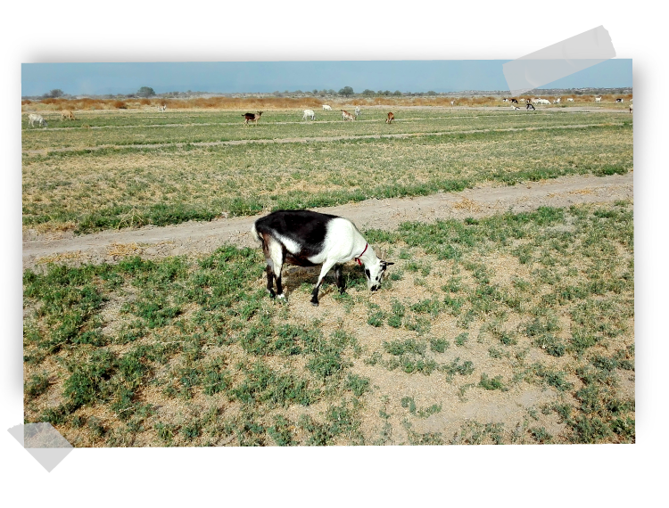 Goats at a mexican PV plant by GRS