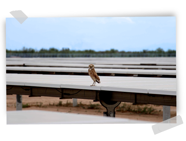 Owl in GRS solar plant in Mexico